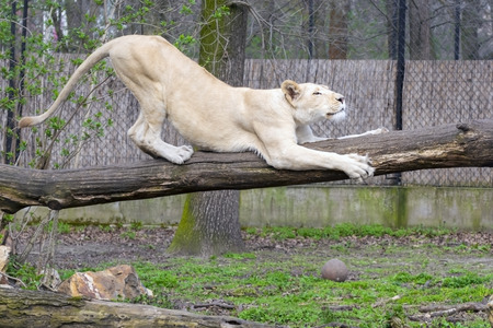 White South African lioness (Panthera leo krugeri) on a log Stock Photo