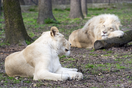 felid: White South African lion and lioness (Panthera leo krugeri) boring relationship Stock Photo