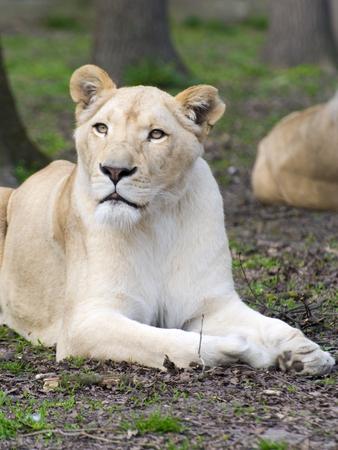 felid: White South African lioness (Panthera leo krugeri) Stock Photo
