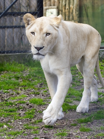 felid: White South African lioness (Panthera leo krugeri) is walking Stock Photo