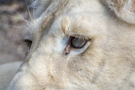 felid: Eye of a white South African lioness (Panthera leo krugeri) Stock Photo