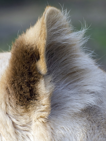 felid: Ear of a white South African lioness (Panthera leo krugeri) Stock Photo