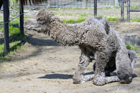 trying: Newborn Bactrian or two-humped camel (Camelus bactrianus) calf is trying to stand up