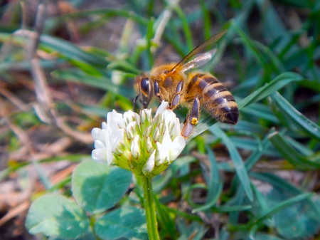 mellifera: European honey bee (Apis mellifera) is collecting nectar on a flower Stock Photo