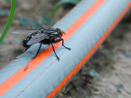 housefly: Housefly (Musca domestica) on a garden hose