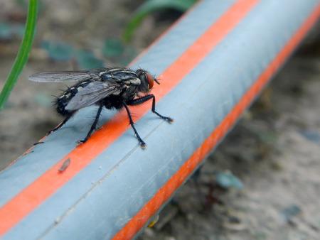 housefly: Housefly (Musca domestica) on a garden hose