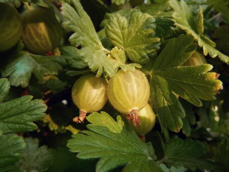 ribes: Gooseberry (Ribes uva-crispa) plant and fruit in the summer Stock Photo