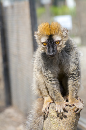 rufous: Red or rufous brown lemur (Eulemur rufus) is sitting on a tree Stock Photo