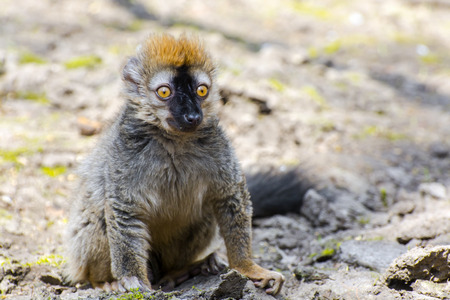 rufous: Red or rufous brown lemur (Eulemur rufus) on the ground