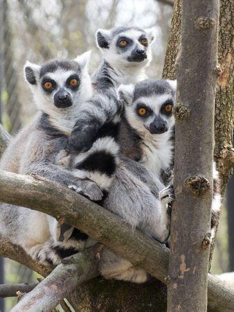 catta: Group of ring-tailed lemurs or makys (Lemur catta) Stock Photo