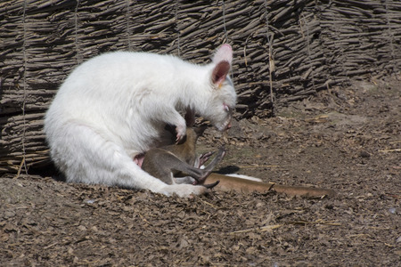 bennett: Bennetts or red-necked wallaby (Macropus rufogriseus) albino mother and normal offspring