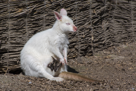 Bennetts or red-necked wallaby (Macropus rufogriseus) albino mother and normal offspring