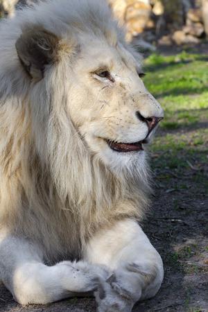 felid: White South African male lion (Panthera leo krugeri) Stock Photo
