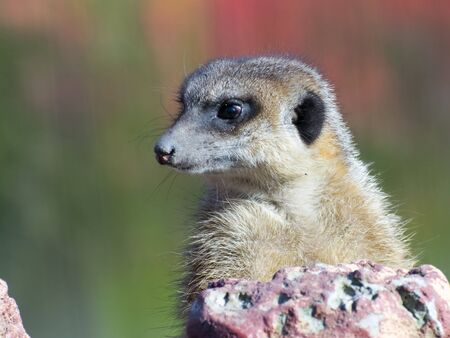 guarding: Guarding meerkat or suricate (Suricata suricatta)