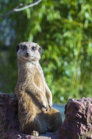 herpestidae: Guarding meerkat or suricate (Suricata suricatta)