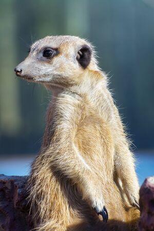 suricata suricatta: Guarding meerkat or suricate (Suricata suricatta)