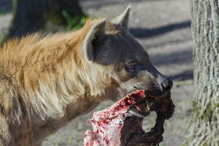 flesh eating animal: Spotted hyena (Crocuta crocuta) carries a piece of meat