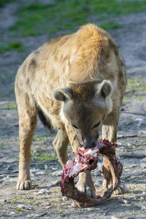 flesh eating animal: Spotted hyena (Crocuta crocuta) eats meat Stock Photo