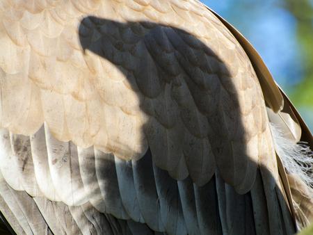 gyps: European Griffon vulture (Gyps fulvus) - shadow of a vulture head