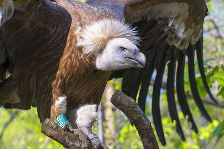 half body: European Griffon vulture (Gyps fulvus) half body Stock Photo