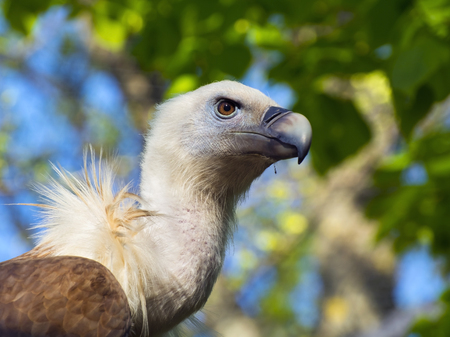 gyps: Portrait of an European Griffon vulture (Gyps fulvus)
