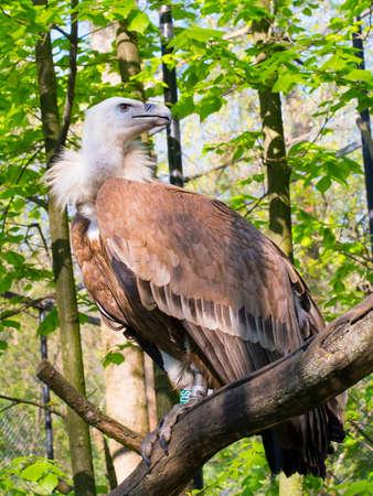 gyps: European Griffon vulture (Gyps fulvus) full body Stock Photo