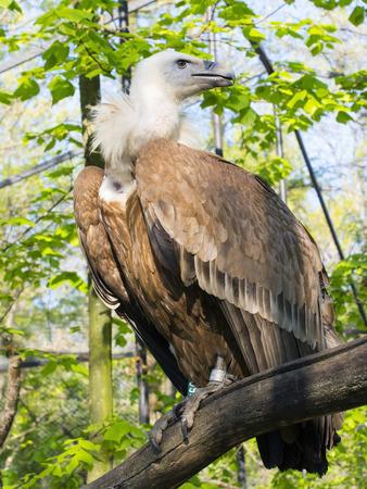 fulvus: European Griffon vulture (Gyps fulvus) full body Stock Photo