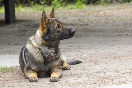 sniffer: Drug detection Belgian malionois is waiting for order Stock Photo