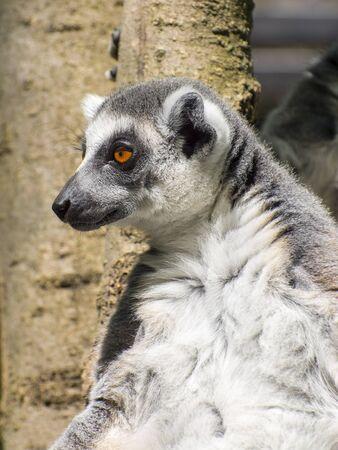 catta: Portrait of a ring-tailed lemur (Lemur catta) Stock Photo