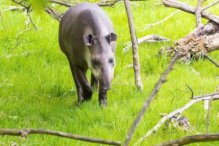 lowland: Lowland tapir (Tapir terrestris) in the forest