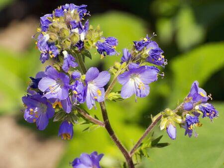 valerian: Jacobs-ladder or Greek valerian (Polemonium caeruleum)