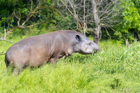 lowland: Lowland tapir (Tapirus terrestris) male is grazing grass
