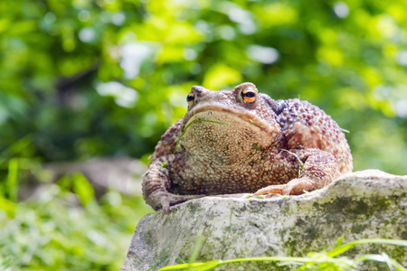 bufo toad: A huge common toad (Bufo bufo) in a field