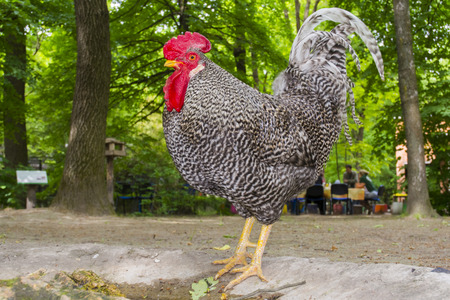 domesticus: Hungarian speckled rooster (Gallus domesticus) in a forest