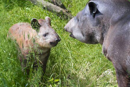 lowland: Lowland tapir (Tapirus terrestris) mother and her daughter Stock Photo