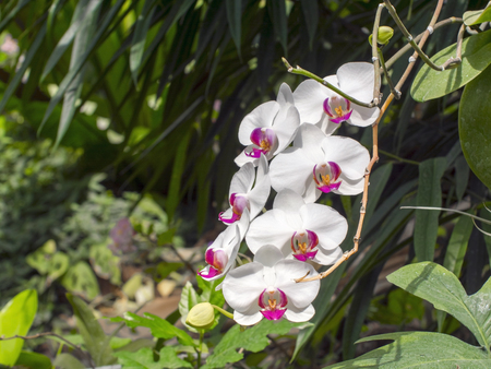 chaplet: Chaplet of white moth orchid flowers (Phalaenopsis sp.)
