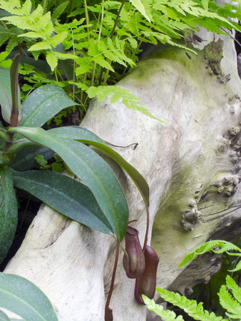 nepenthes: Leaves of a pitcher plant (Nepenthes rebecca) Stock Photo