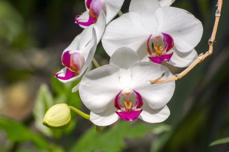 chaplet: Chaplet of white moth orchid flowers (Phalaenopsis sp.)