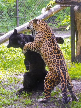 onca: Black and spotted jaguars (Panthera onca) are wrestling