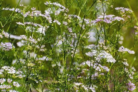 coriandrum sativum: Flowers of coriander or cilantro (Coriandrum sativum) Stock Photo