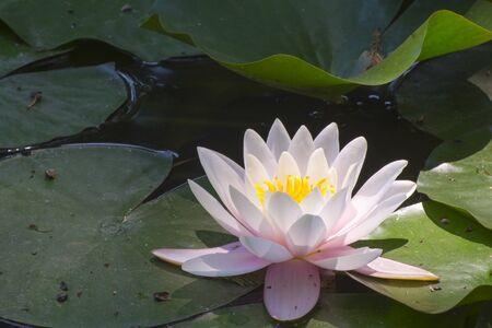 nucifera: Indian lotus (Nelumbo nucifera) flower in a pond Stock Photo