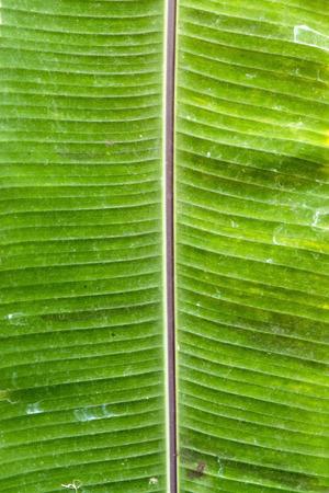 musa: Green leaf of banana (Musa x paradisiaca)