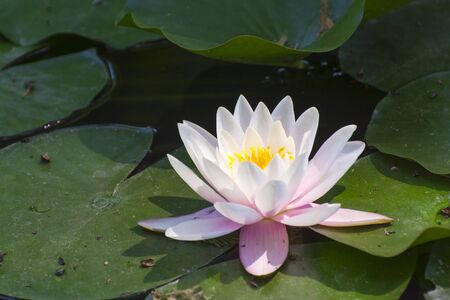 nelumbo: Indian lotus (Nelumbo nucifera) flower in a pond Stock Photo