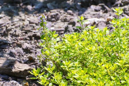 lamiales: Common or German thyme (Thymus vulgaris) in a garden Stock Photo