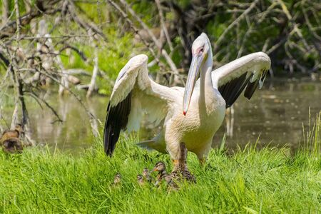 great white pelican: Great white pelican (Pelecanus onocrotalus) and a mallard with ducklings