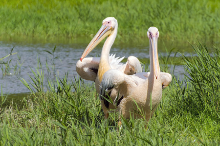 onocrotalus: Great white pelican (Pelecanus onocrotalus) in a swamp Stock Photo