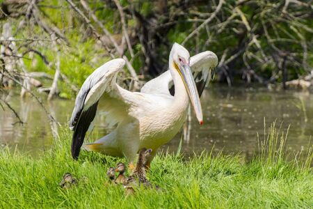 pelecanus: Great white pelican (Pelecanus onocrotalus) and a mallard with ducklings