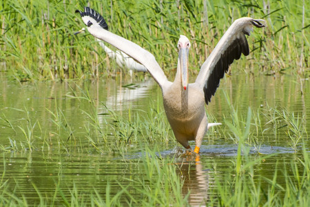 onocrotalus: Great white pelican (Pelecanus onocrotalus) is walking in the water