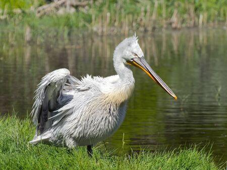 marshy: Dalmatian pelican (Pelecanus crispus) in a marshy area Stock Photo