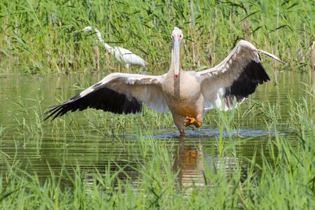 pelecanus: Great white pelican (Pelecanus onocrotalus) is walking in the water